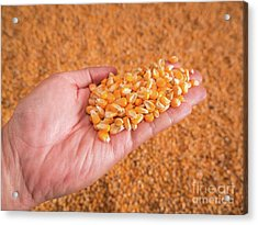Corn Seeds In Hand With Pile Of Ripe Corn Seeds In Background. Acrylic Print by Tosporn Preede