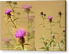 Cornflower Collage Acrylic Print