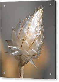 Cornflower Seed Pod Acrylic Print by Michele Penner