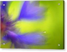 Cornflower Acrylic Print by Silke Magino