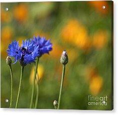 Cornflowers -2- Acrylic Print