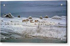 Corrola Wild Horses Acrylic Print