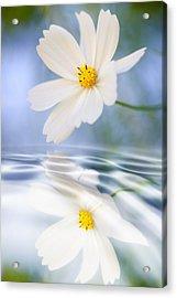 Cosmea Flower - Reflection In Water Acrylic Print by Silke Magino