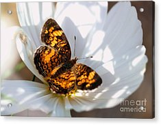 Pearl Crescent Butterfly On White Cosmo Flower Acrylic Print