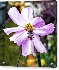 Cosmos And The Bee Acrylic Print