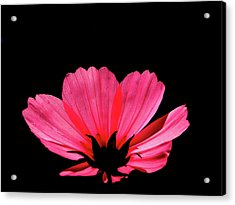 Cosmos Bloom Acrylic Print