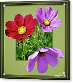 Cosmos Flower Peeking Out Acrylic Print