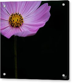 Acrylic Print featuring the photograph Cosmos On Black by Lisa Knechtel