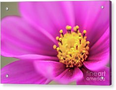 Acrylic Print featuring the photograph Cosmos Pink Sensation by Sharon Mau