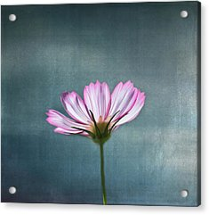 Cosmos - Summer Love Acrylic Print by Kim Hojnacki