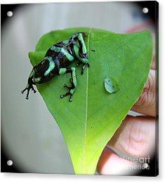 Costa Rican Poison Dart Frog Acrylic Print