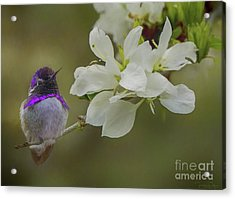 Costas Hummingbird On An Anacacho Orchid Branch Acrylic Print