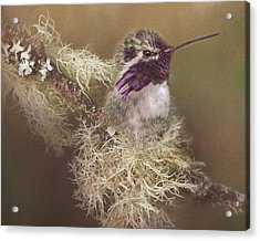 Costas Hummingbird Painted Acrylic Print