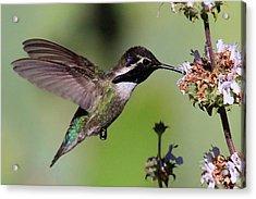 Costa's Hummingbird Acrylic Print by Paul Marto