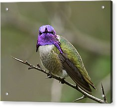 Costa's Hummingbird, Solano County California Acrylic Print by Doug Herr