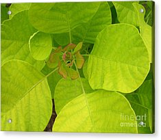 Cotinus Acrylic Print by Addie Hocynec