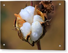 Cotton Boll Acrylic Print