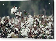 Cotton Field 5 Acrylic Print