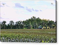 Acrylic Print featuring the photograph Cotton Field In Georgia by Jan Amiss Photography
