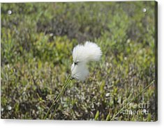 Cotton Grass -eriophorum Virginicum- Acrylic Print by Erin Paul Donovan