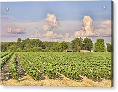 Acrylic Print featuring the photograph Cotton Hasn't Flowered Yet by Jan Amiss Photography