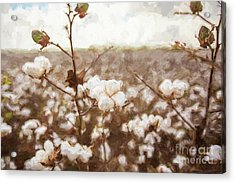 Cotton Is King Acrylic Print