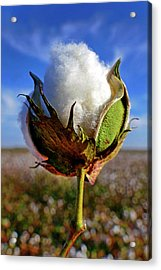 Acrylic Print featuring the photograph Cotton Pickin' by Skip Hunt