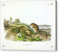 Cotton Rat Acrylic Print