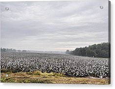Acrylic Print featuring the photograph Cotton Under The Mist by Jan Amiss Photography