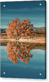 Cotton Wood Tree  Acrylic Print