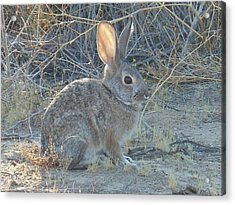 Cottontail Rabbit Morning Light Acrylic Print