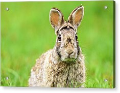 Cottontail Rabbit Acrylic Print