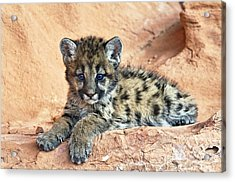 Cougar Kitten Resting Acrylic Print by Melody Watson
