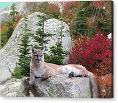 Cougar On Rock Acrylic Print by Robert Bissett