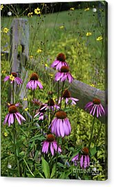 Country Coneflowers Acrylic Print