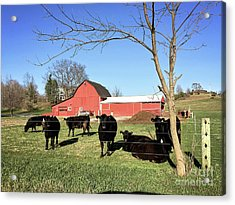 Country Cows Acrylic Print