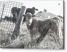Acrylic Print featuring the photograph Country Living For These Cows by Toni Hopper