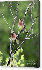 Couple Cedar Waxwing Acrylic Print by Marle Nopardi
