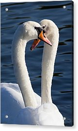 Courting Swans Acrylic Print