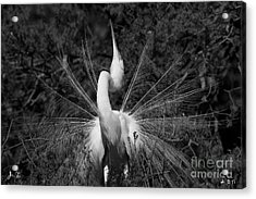 Great Egret Courtship Plumes Acrylic Print