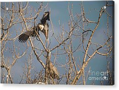 Acrylic Print featuring the photograph Courtship Ritual Of The Great Blue Heron by David Bearden