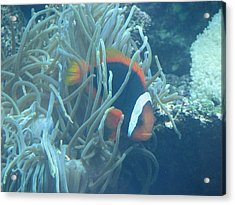 Cousin Of Nemo Acrylic Print by April Camenisch