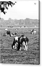 Cow 188 Acrylic Print by Edward Myers
