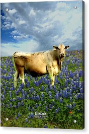 Acrylic Print featuring the photograph Cow And Bluebonnets by Barbara Tristan