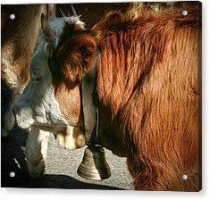 Cow Beautiful - Acrylic Print