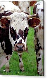 Cow Closeup Acrylic Print