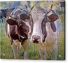 Cow Duo Acrylic Print