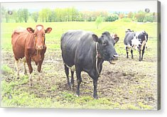 Cows Not Silly At All Acrylic Print by Hilde Widerberg