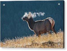 Cow Elk With Steamy Breath Acrylic Print