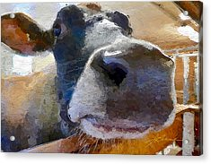 Cow Face Close Up Acrylic Print